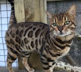 Brown Rosetted Bengal available at Open Stud in Cornwall