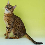 Brown Spotted Bengal Stud in Staffordshire