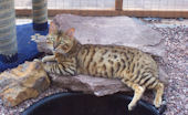 Brown Spotted Bengal Stud for sale in Shropshire