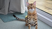Brown Spotted Bengal Stud for sale
