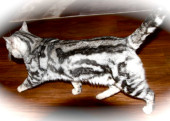 Silver Marble Bengal Stud for sale in Devon