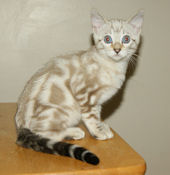 Blue Eyed Snow Marble Bengal Stud for sale