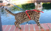 Brown Spotted Bengal Stud for sale in Bristol