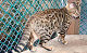 Brown Spotted Bengal available at Open Stud in Dorset